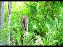 Cervos que forrageiam & que preparam video estoque