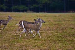 Cervos que funcionam no prado Imagens de Stock Royalty Free