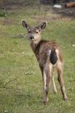 Cervos que giram em torno e que olham fixamente em mim Imagens de Stock Royalty Free