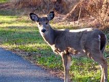 Cervos que olham a câmera Fotografia de Stock