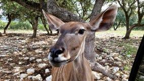 Cervos que olham fixamente a direito Fotos de Stock Royalty Free