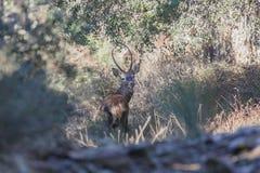 Cervos que olham nas madeiras Imagem de Stock