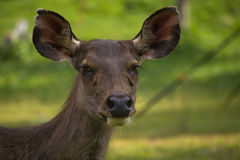 Cervos que olham para a frente Fotos de Stock