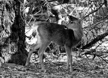 Cervos que olham para trás imagem de stock