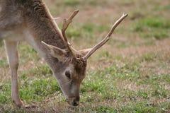 Cervos que pastam em um campo Imagens de Stock Royalty Free