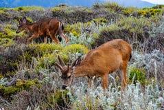 Cervos que pastam na fantasia como o campo Imagem de Stock Royalty Free