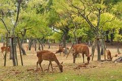 Cervos que pastam nas madeiras abertas de Nara Park foto de stock royalty free