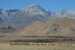 Cervos que pastam perto da serra Nevada Imagens de Stock Royalty Free