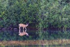 Cervos que vadeiam no lago em Mt Rainier National Park imagem de stock