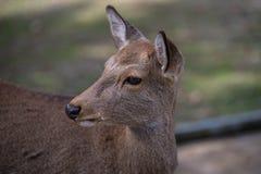 Cervos que vivem nos templos fotografia de stock royalty free