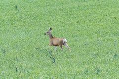 Cervos Running foto de stock royalty free