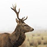 Cervos selvagens fotos de stock royalty free