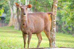 Cervos selvagens Fotografia de Stock Royalty Free