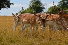 Cervos selvagens Imagem de Stock Royalty Free