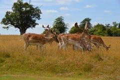Cervos selvagens Fotos de Stock