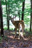 Cervos selvagens Imagem de Stock