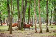 Cervos selvagens em pinho misturado e na floresta decíduo imagem de stock