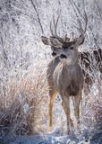 Cervos selvagens nas planícies altas de Colorado - dois cervos de mula cumprimentam t Fotos de Stock