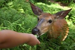 Cervos selvagens nos ferns Imagem de Stock