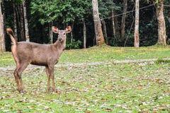 Cervos sozinhos Fotos de Stock