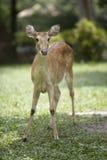 cervos Testa-antlered Imagens de Stock Royalty Free