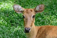 Cervos testa-antlered burmese Fotos de Stock Royalty Free