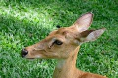 Cervos testa-antlered burmese Imagens de Stock