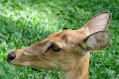 Cervos testa-antlered burmese Fotografia de Stock