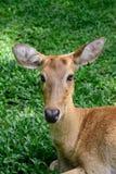 Cervos testa-antlered burmese Foto de Stock Royalty Free