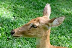 Cervos testa-antlered burmese Imagem de Stock