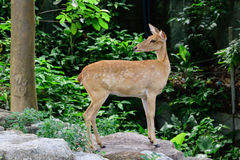 Cervos testa-antlered burmese Fotografia de Stock Royalty Free