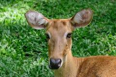 Cervos testa-antlered burmese Imagem de Stock Royalty Free