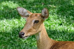 Cervos testa-antlered burmese Imagens de Stock Royalty Free