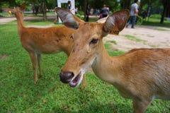 cervos Testa-antlered no jardim zoológico foto de stock royalty free