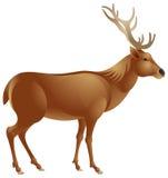 Cervos vermelhos Ilustração Stock