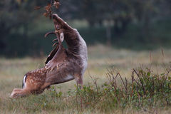 Cervos vermelhos Imagens de Stock Royalty Free