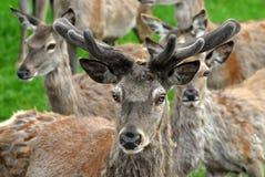 Cervos vermelhos imagem de stock royalty free
