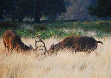 Cervos vermelhos Fotos de Stock Royalty Free