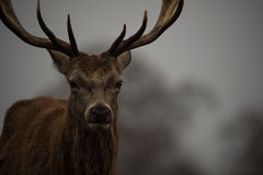 Cervos vermelhos Foto de Stock Royalty Free