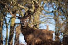 Cervos vermelhos Fotografia de Stock Royalty Free