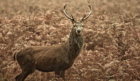 Cervos vermelhos do parque de Richmond do inverno, Londres Reino Unido Imagens de Stock