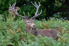 Cervos vermelhos, elaphus do cervus Imagem de Stock