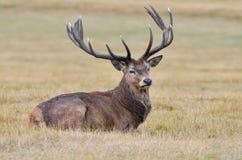 Cervos vermelhos, elaphus do cervus Foto de Stock Royalty Free