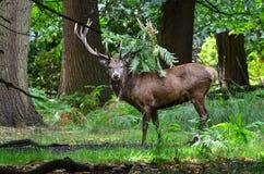 Cervos vermelhos, elaphus do cervus Fotografia de Stock