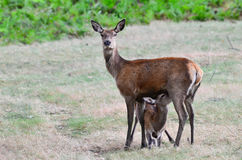 Cervos vermelhos, elaphus do cervus Fotografia de Stock Royalty Free