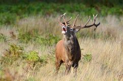 Cervos vermelhos, elaphus do cervus Fotos de Stock Royalty Free