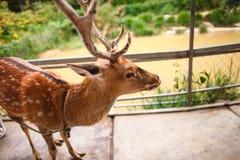 Cervos vietnamianos Foto de Stock Royalty Free