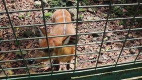 Cervus оленей Sambar unicolour в клетке зоопарка видеоматериал