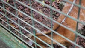 Cervus оленей Sambar unicolour в клетке зоопарка сток-видео