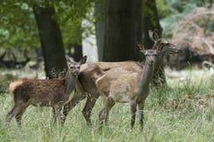 Cervus czerwony jeleni elaphus Obrazy Royalty Free